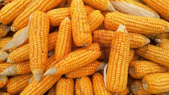 Валовой сбор украинской кукурузы достиг почти 23 млн тонн фото, иллюстрация