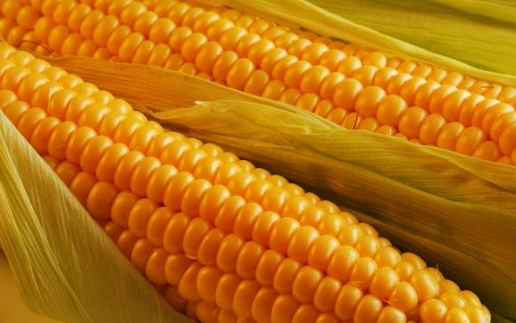 Внутренний спрос на кукурузу в Украине составляет всего 30% фото, иллюстрация