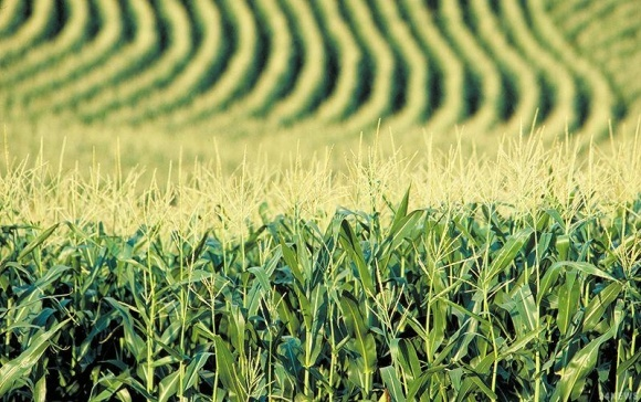 В США разрешили выращивать кукурузу, убивающую вредителей фото, иллюстрация