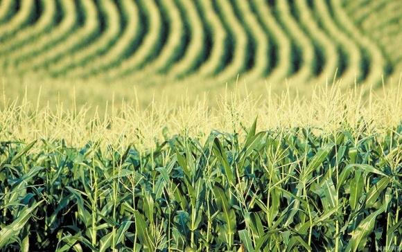 У США дозволили вирощувати кукурудзу, що вбиває шкідників фото, ілюстрація