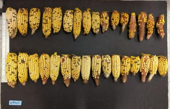 Исследователи из Флориды вывели жаростойкую кукурузу фото, иллюстрация