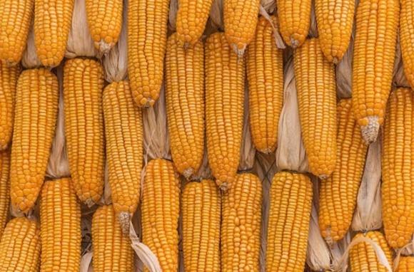 Стоимость кукурузы в портах Украины заметно выросла фото, иллюстрация