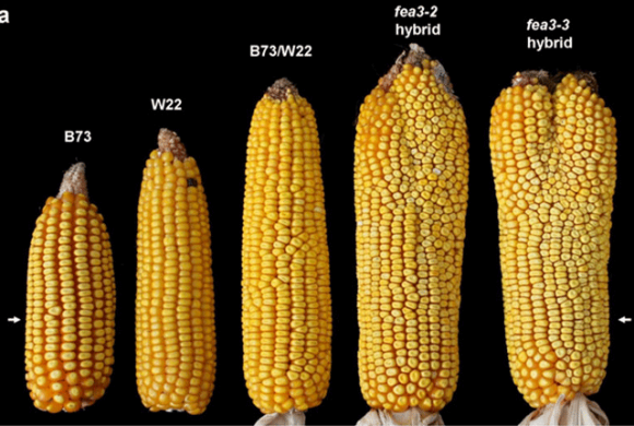 """Біологи вивели кукурудзу з """"двома головами"""" (ФОТО) фото, ілюстрація"""