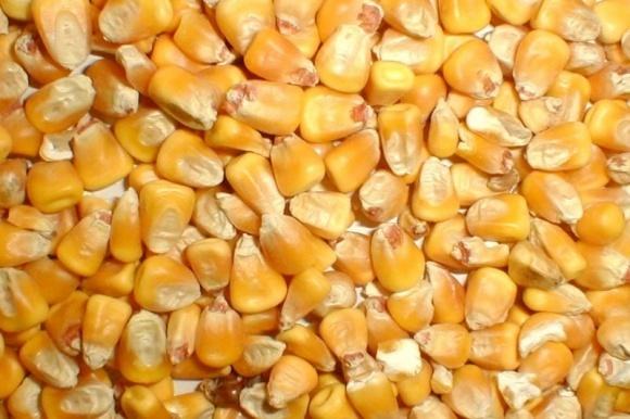 Агролайфхак: как получить хороший урожай кукурузы фото, иллюстрация