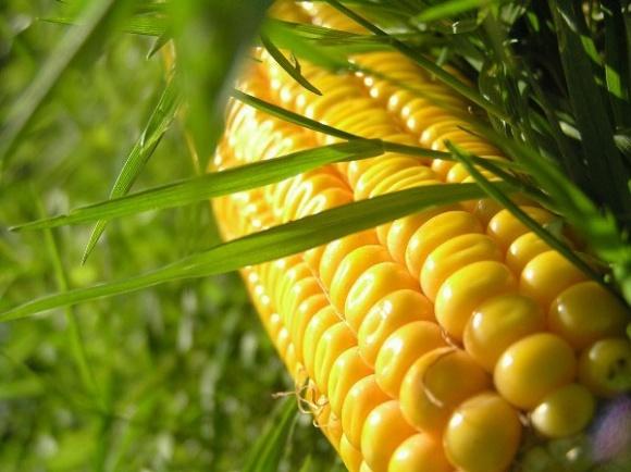 В краткосрочной перспективе возможно снижение мировых цен на кукурузу фото, иллюстрация