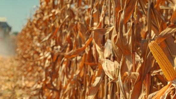 Минэкономики ухудшило прогноз по зерновым из-за потерь урожая кукурузы  фото, иллюстрация
