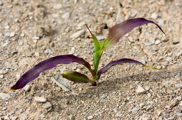 Чому кукурудза стає фіолетовою і як це впливає на урожайність? фото, ілюстрація