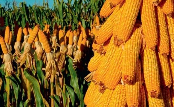 Кукуруза возглавила ТОП-10 товаров украинского экспорта  фото, иллюстрация