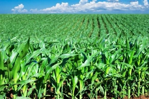Кукурузные гербициды: еще одно действующее вещество исчезает с европейского рынка фото, иллюстрация
