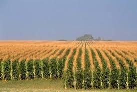 США очікують нового рекорду врожайності кукурудзи фото, ілюстрація