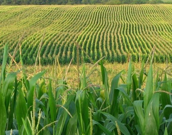 В Черкасской области кукурузой на зерно засеяны рекордные площади фото, иллюстрация