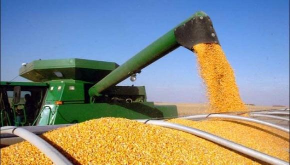 Покупці української кукурудзи піднімають ціни на продукцію нового врожаю фото, ілюстрація