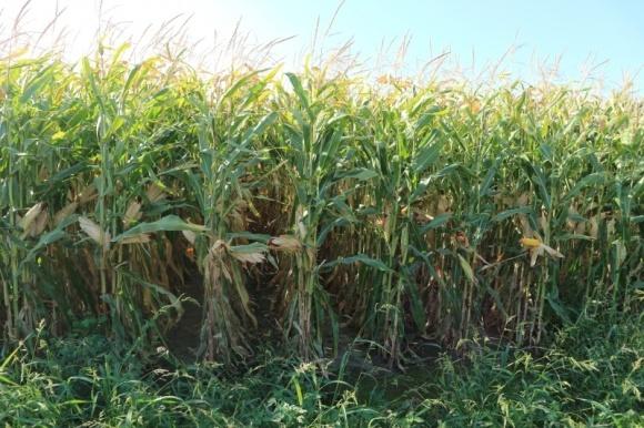 Ціни на кукурудзу знизилися через прогнози збільшення валового збору фото, ілюстрація