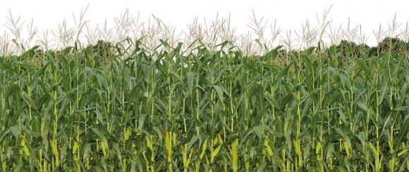 Україна має найвищу в світі експортну квоту кукурудзи фото, ілюстрація