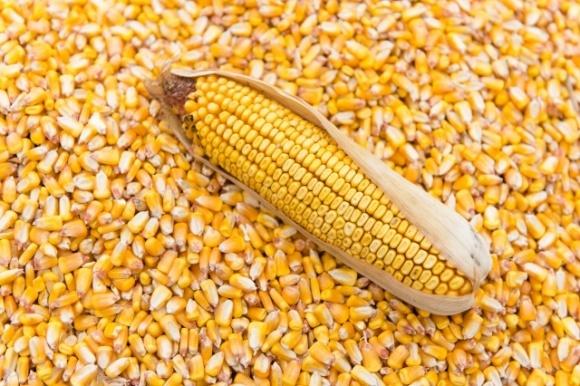 Україна нарощує експорт кукурудзи. Як змінюється географія? фото, ілюстрація