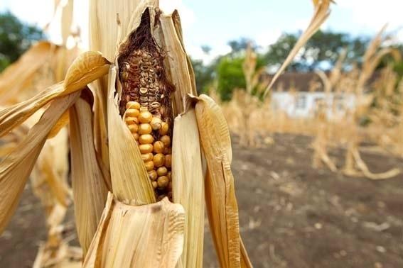 Урожай кукурузы в Украине пока оценивается в 35 млн тонн — АПК-Информ фото, иллюстрация