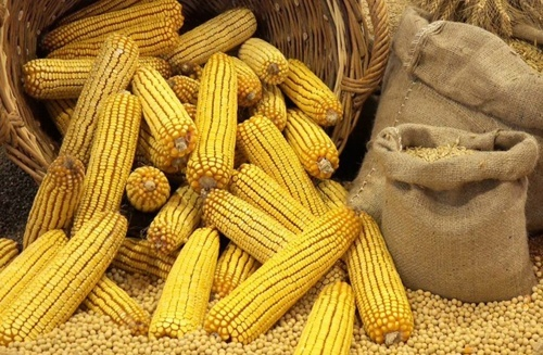 Рекордный экспорт украинской кукурузы пока оценивается в 26.2 млн тонн — ИА «АПК-Информ» фото, иллюстрация
