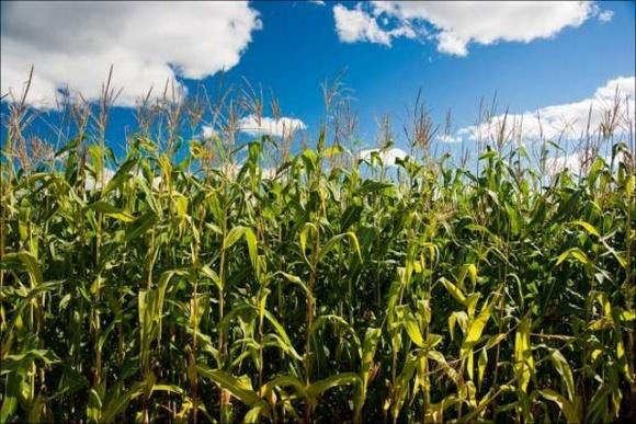 На Вінниччині розраховують на кукурудзу, щоб збільшити вал зерна фото, ілюстрація
