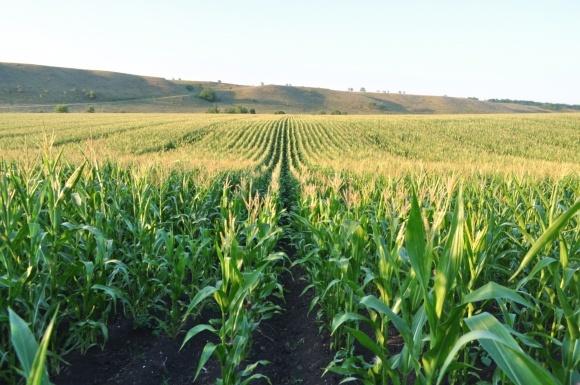 Кукуруза достигла своего пика по площадям в Украине, - DuPoint Pioneer фото, иллюстрация
