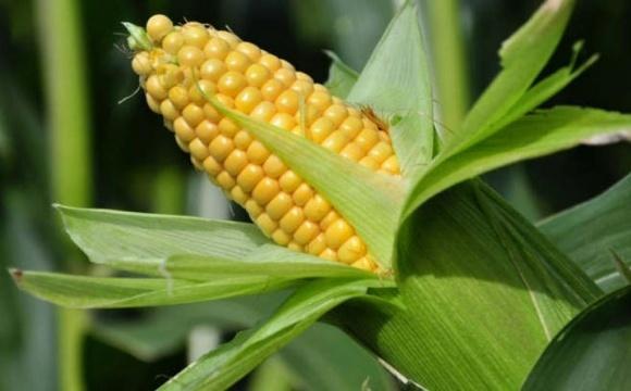 Цены на украинскую кукурузу восстанавливаются фото, иллюстрация