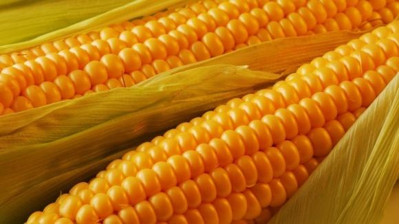"""Засухоустойчивые гибриды кукурузы """"Маис"""" успешно конкурируют с иностранными фото, иллюстрация"""