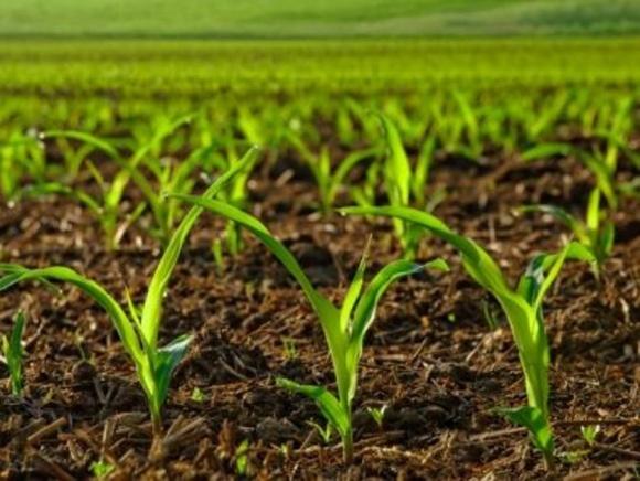 Когда принимать решение о пересеве кукурузы? фото, иллюстрация