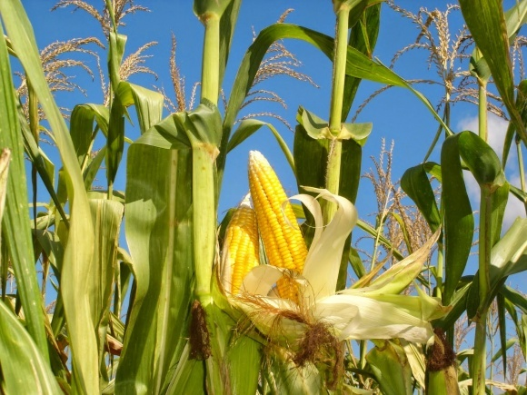 Агролайфхак: почему для кукурузы важно расти без сорняков фото, иллюстрация