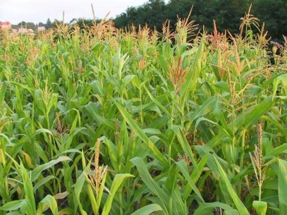 Урожай пізніх культур буде на рівні середнього за останні п'ять років фото, ілюстрація