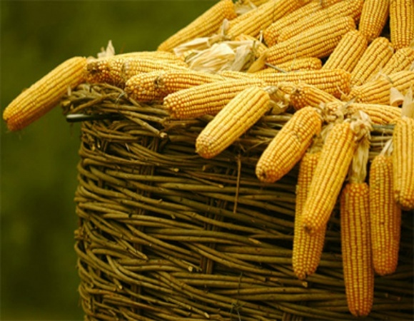 Європі потрібна українська кукурудза фото, ілюстрація
