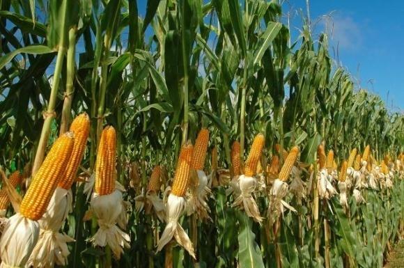 У США — рекордний урожай кукурудзи фото, ілюстрація