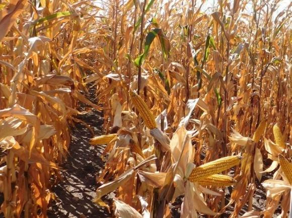 Урожайність кукурудзи в Україні нижче торішньої на 16-18% фото, ілюстрація