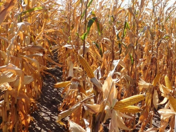 Урожайность кукурузы в Украине ниже прошлогодней на 16-18% фото, иллюстрация