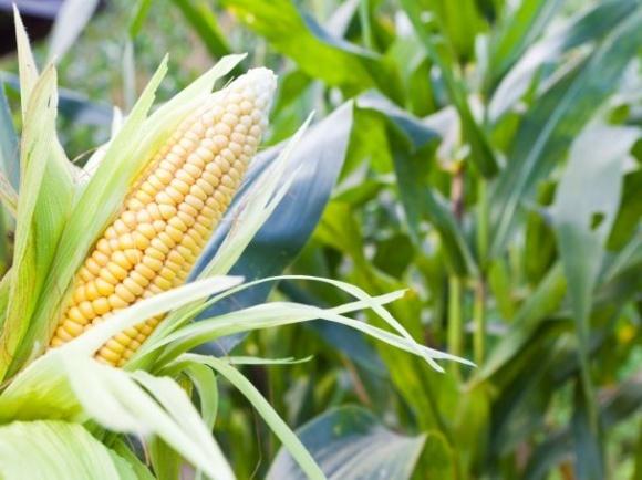 Выведен новый гибрид кукурузы для регионов с коротким летом фото, иллюстрация