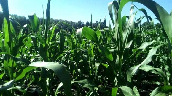 Вирощування кукурудзи можливе без добрив фото, ілюстрація