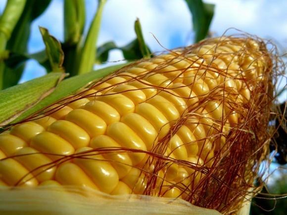 Американцы прогнозируют увеличение производства кукурузы в Украине на 16% фото, иллюстрация