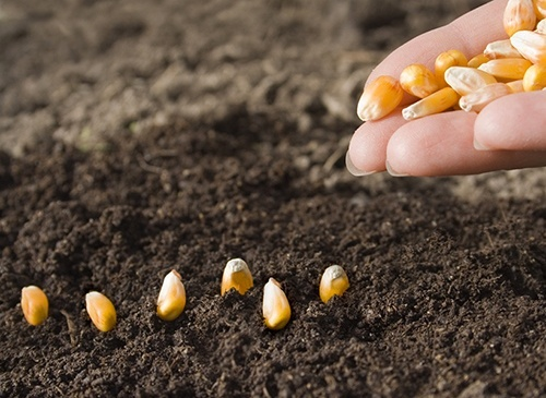 Рынки: Новый рост посевных площадей под кукурузой в Европе в 2019 году и снижение запасов семян фото, иллюстрация
