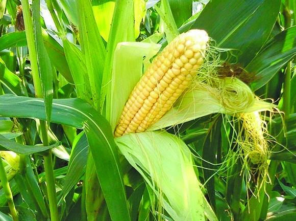 Рентабельність продажів продуктів переробки кукурудзи може матиме 14% фото, ілюстрація