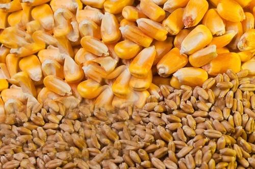 Экспортные цены на пшеницу в мире в феврале снизились, а на кукурузу выросли фото, иллюстрация