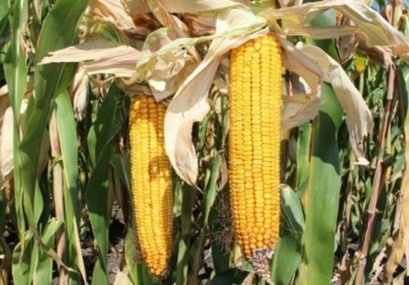 В Винницкой области из-за засухи урожайность кукурузы на зерно уменьшится на 20% фото, иллюстрация