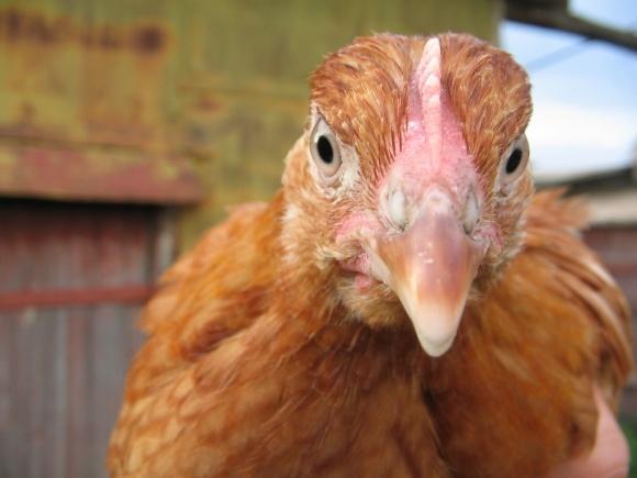 Правительство ограничило выплату дотаций птицеводам до 50% от общей суммы фото, иллюстрация