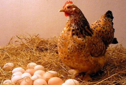 Британские ученые узнали, что было сначала - курица или яйцо фото, иллюстрация