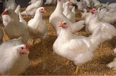Держпродспоживслужба посилила контроль за ввезенням птиці з Німеччини та Австрії фото, ілюстрація