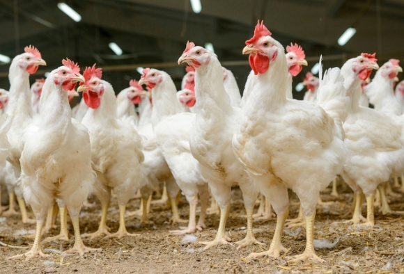 ЄС перегляне заборону на експорт курятини до 21 грудня, - МХП фото, ілюстрація