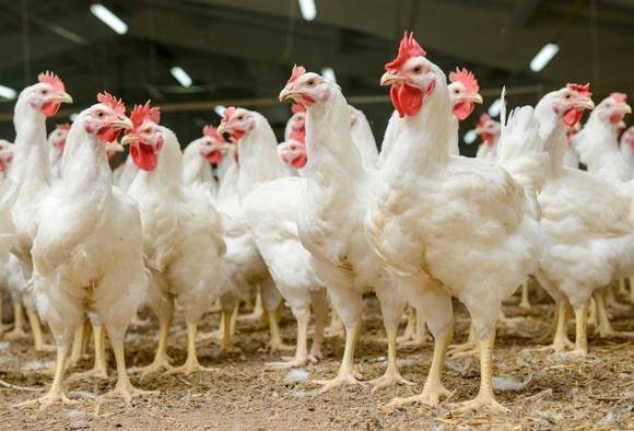 ЕС пересмотрит запрет на экспорт курятины до 21 декабря, - МХП фото, иллюстрация