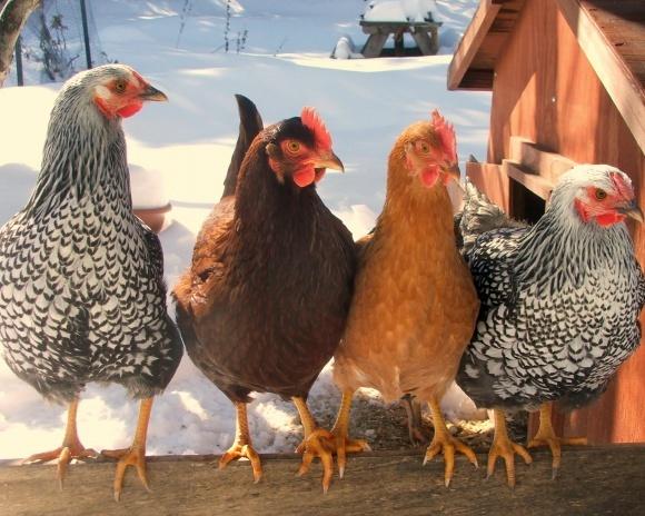 Молдова отказалась от курятины Украины и еще нескольких стран фото, иллюстрация