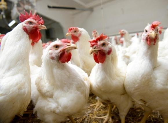 ЕС временно запретил ввоз украинской курятины фото, иллюстрация