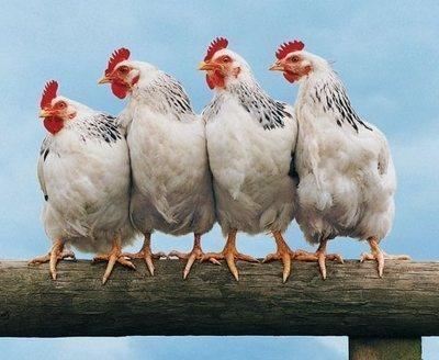 Большие птицефабрики останутся без помощи - Кутовой фото, иллюстрация