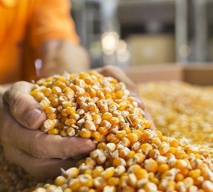KWS купила лицензию в Origin Agritech на биотехнологические признаки и зародышевую плазму кукурузы фото, иллюстрация