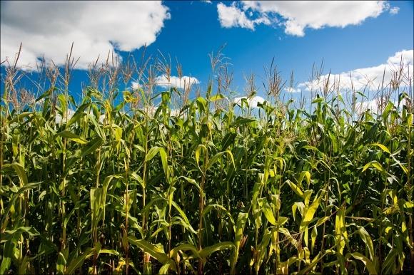Селекція продуктивної кукурудзи погіршує її адаптивність фото, ілюстрація