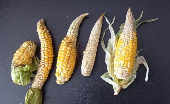 Из-за неурожая черкасские аграрии перепахивают кукурузные поля фото, иллюстрация